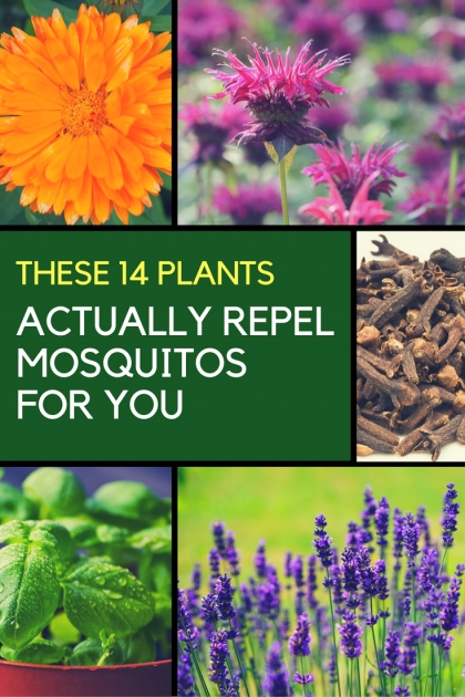 Amazing Mosquito Repellent Plants Photo