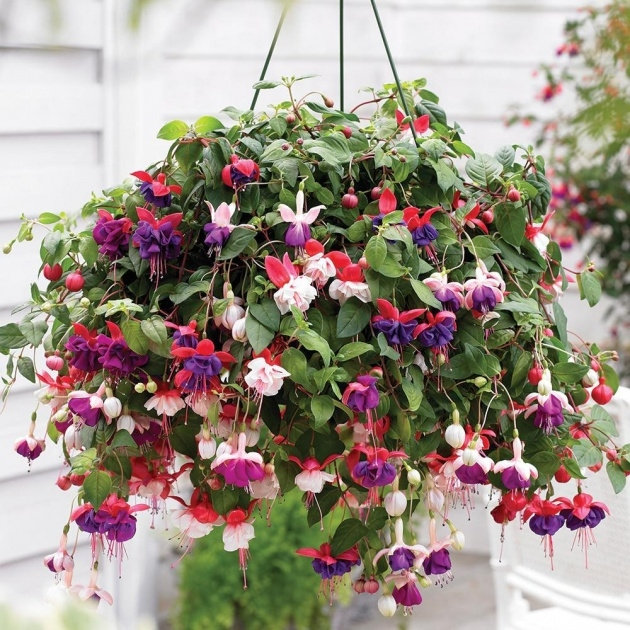 Amazing Pictures Of Trailing Plants For A Hanging Basket Photo