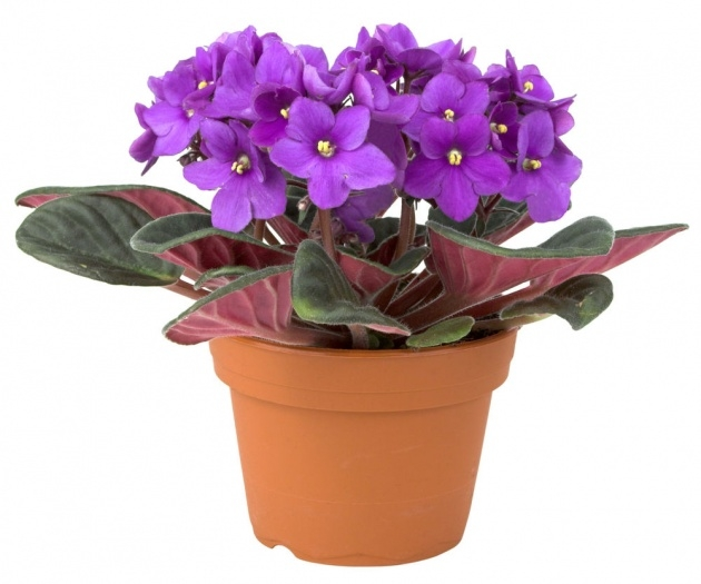 Amazingly African Violet Plant Photo