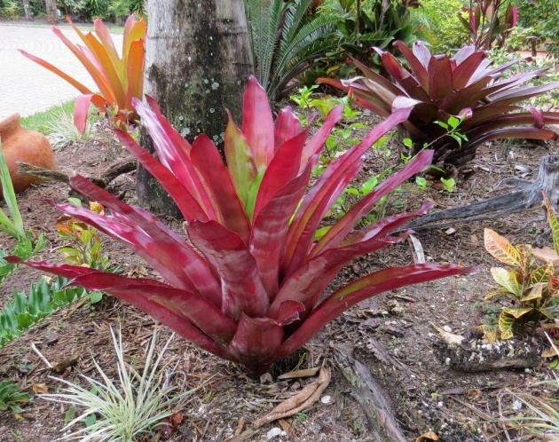 Amazingly Full-Sun Bromeliads For Florida Picture