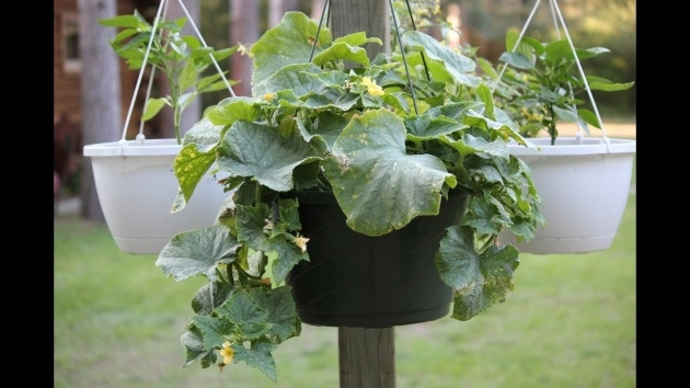 Amazingly Hanging Vegetable Plants Picture
