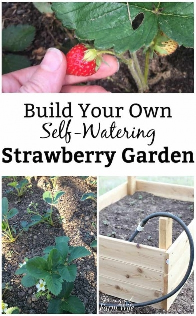 Amazingly Self Watering Strawberry Planter Image