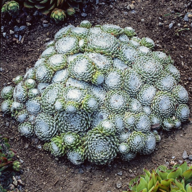 Awesome Hens And Chicks Plant Photo