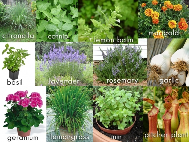 Awesome Mosquito Repellent Plants Image