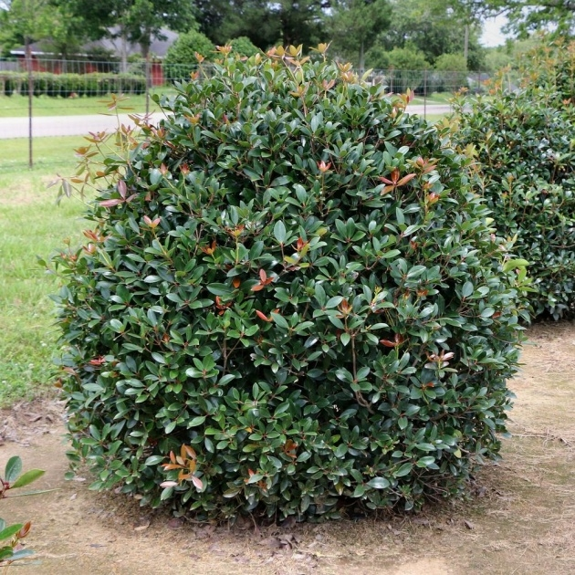 Awesome Shrub Plant Image