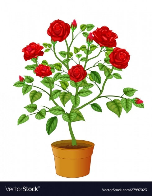 Best Beautyful Rose In Pot Picture