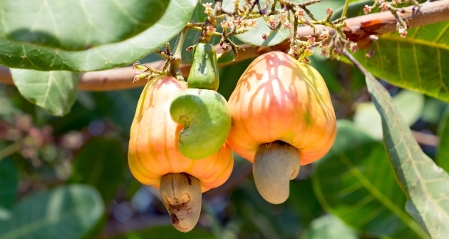 Best Cool Cashew Nut Plant Picture