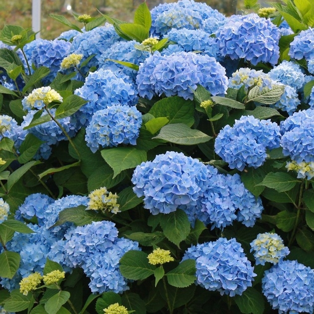 Best Cool Hydrangea Plant Picture