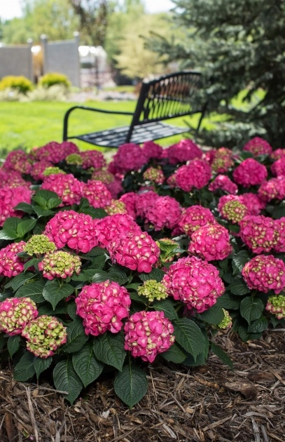 Best Hydrangea Plant Picture