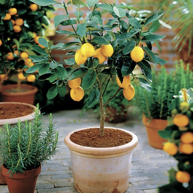 Best Lemon Tree Plant Image