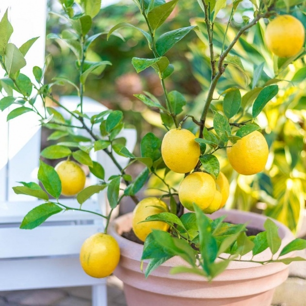 Best Lemon Tree Plant Photo