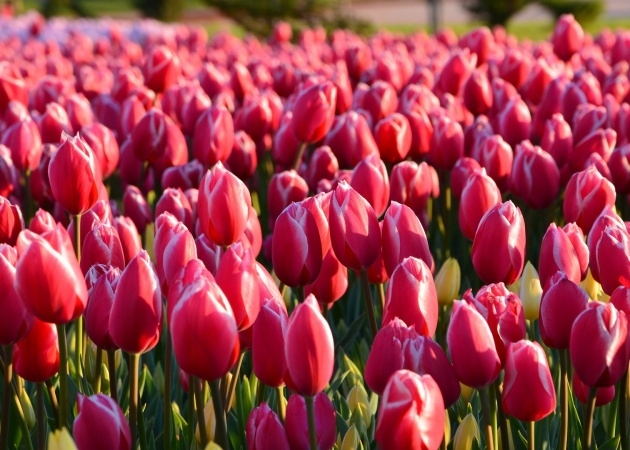 Best Planting Tulip Bulbs Photo