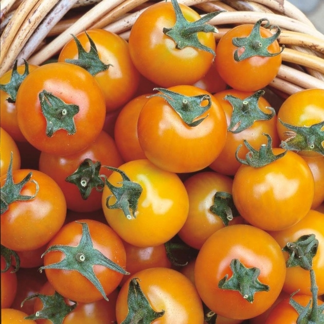 Best Sungold Tomato Grow Lights Photo