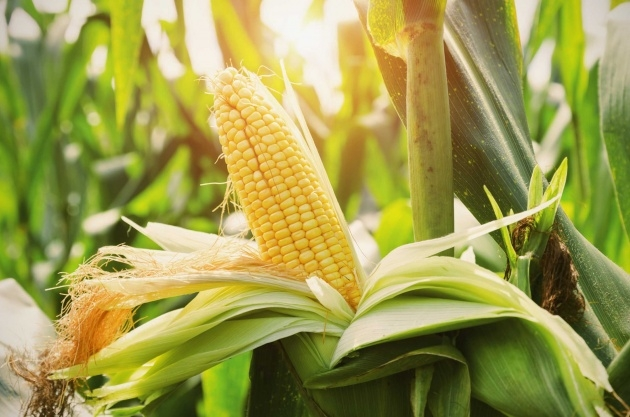 Best Sweet Corn Plant Picture