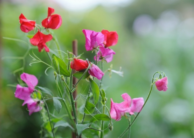 Best Sweet Pea Plant Photo