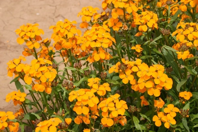 Best Wallflower Plant Image