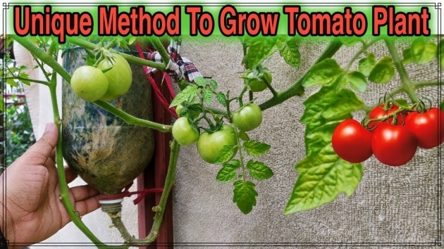 Cool Hanging Tomato Plants Photo