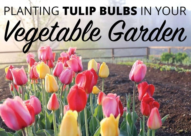 Cool Planting Tulip Bulbs Picture