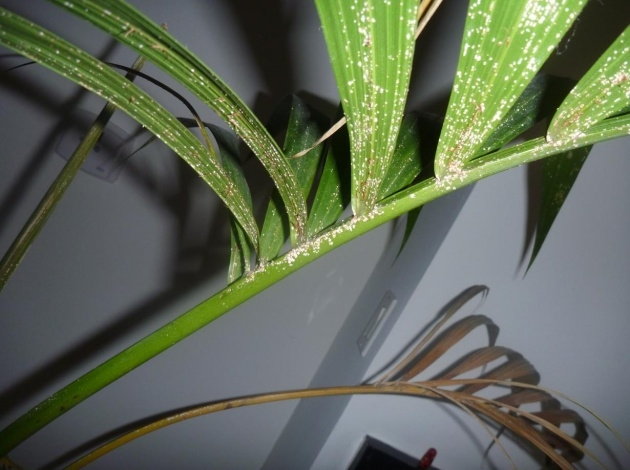 Creative Houseplants Scale On Spider Plants Image