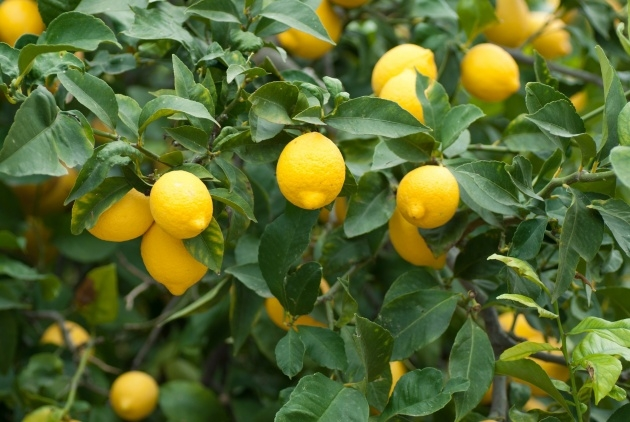 Creative Lemon Tree Plant Photo