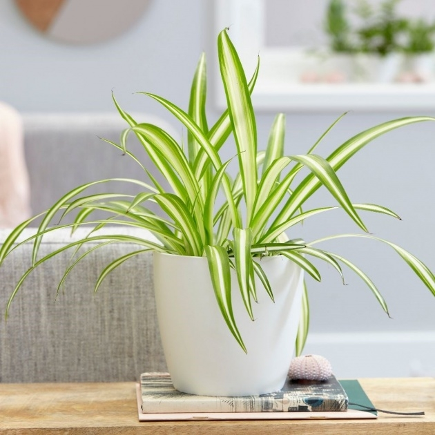 Easy Houseplants Scale On Spider Plants Image