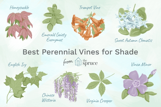 Easy Vines That Grow In Shade Picture