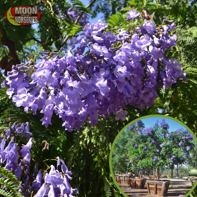 Fantastic Trees With Purple Blossoms In Arizona Picture