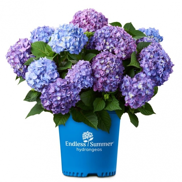 Fascinating Hydrangea Plant Picture