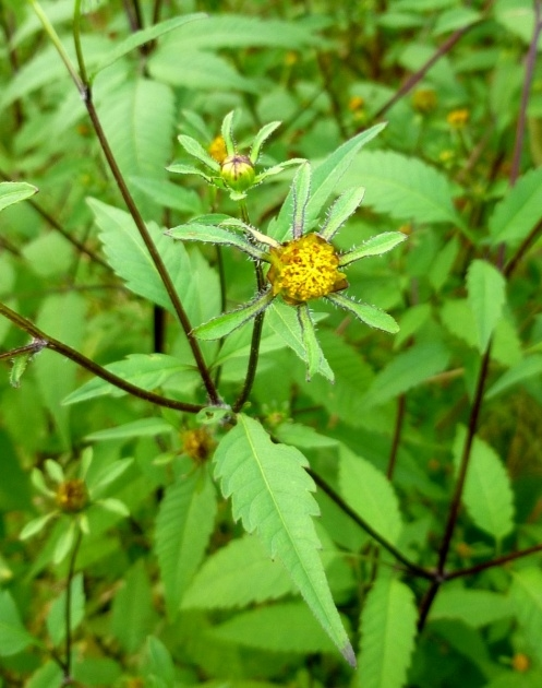 Fascinating Plant Has Yellow Flowers And A Purple Stem Image