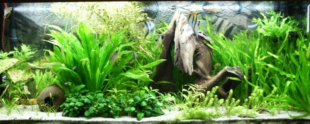 Gallery Of Fish Tank Plants Picture