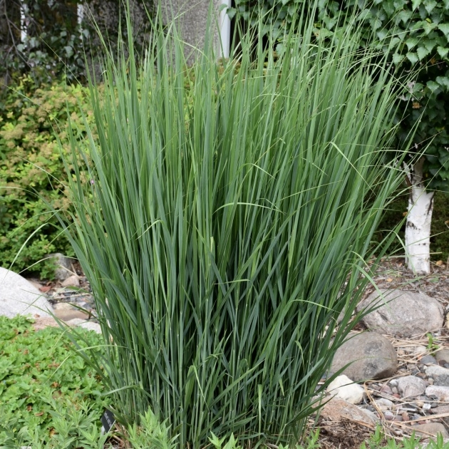 Gallery Of Grass Plants Photo