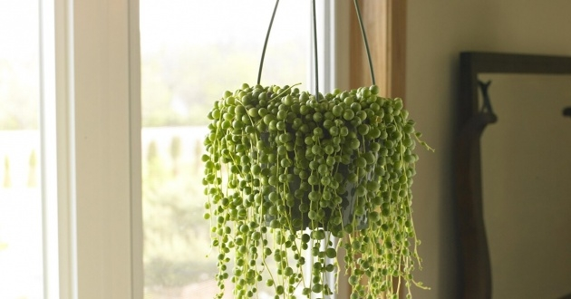 Gorgeous Indoor Hanging Plants Picture