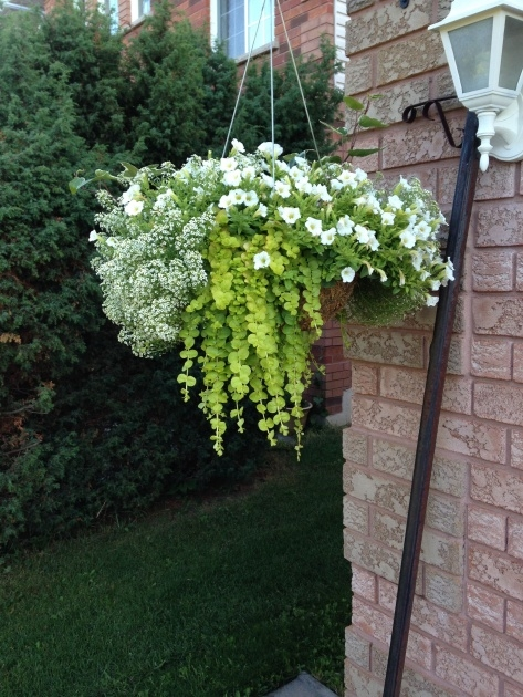 Gorgeous Pictures Of Trailing Plants For A Hanging Basket Picture
