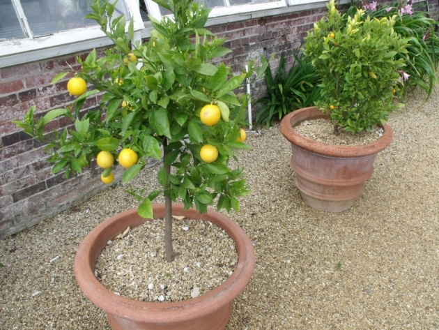 Great Ideas Lemon Tree Plant Picture