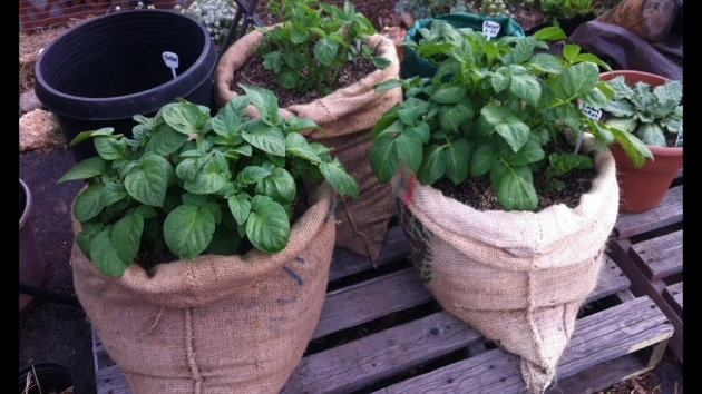 Great Ideas Planting Potatoes In Bags Image