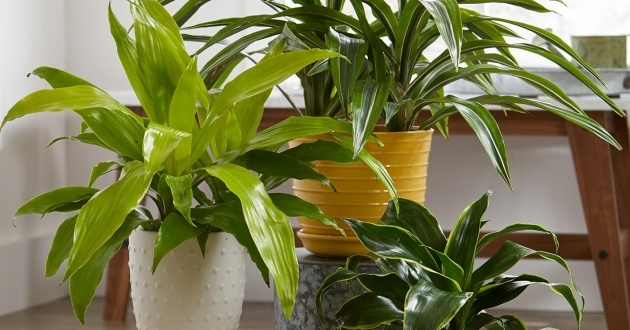 Great Ideas Tall Indoor House Plants Trees Image