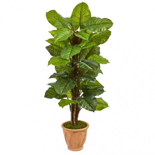 Great Large Leaf Tree For Indoors Image