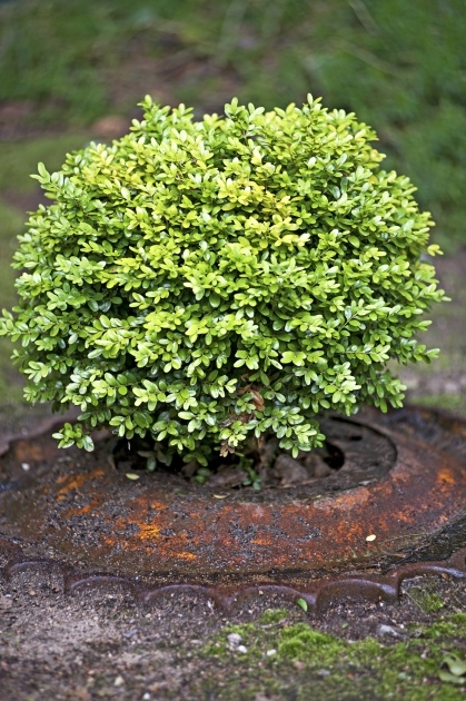 Great Shrub Plant Image