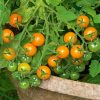 Sungold Tomato Grow Lights