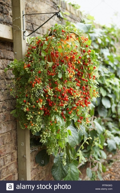 Ideas for Hanging Tomato Plants Image