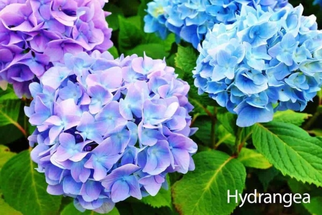 Ideas for Hydrangea Plant Picture