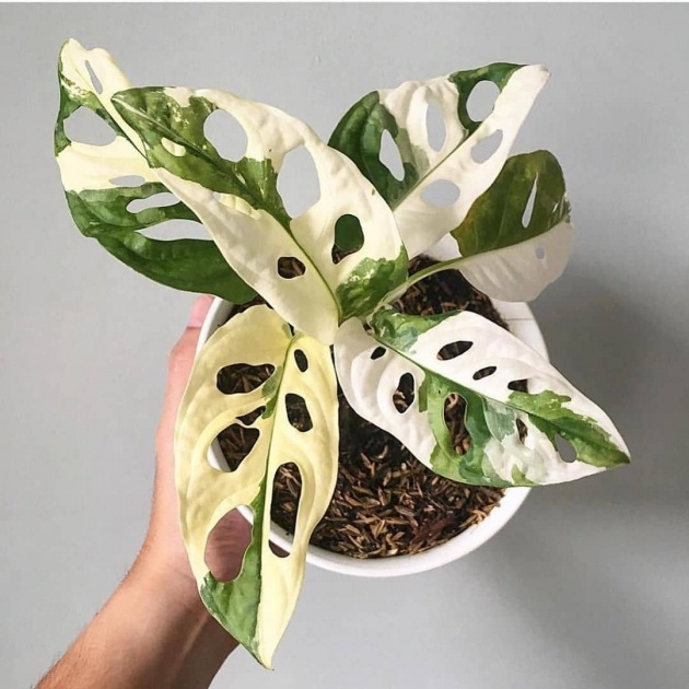 Ideas for Variegated House Plants Photos Photo