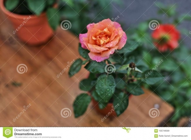 Imaginative Beautyful Rose In Pot Image