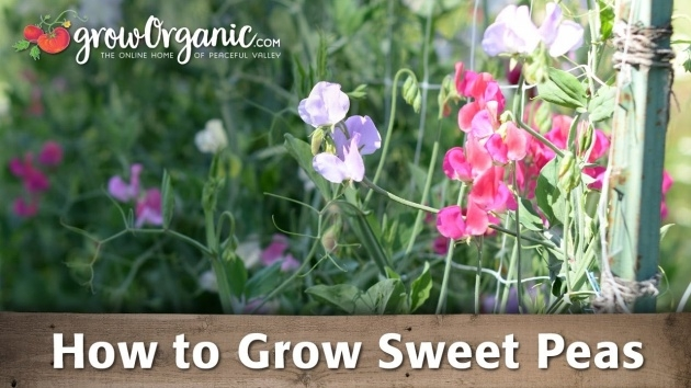 Innovative Sweet Pea Plant Image