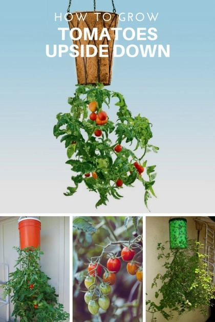 Innovative Topsy Turvy Tomato Planter Picture