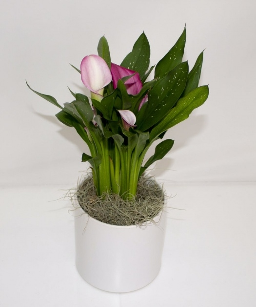 Insanely Calla Lily Plant Image