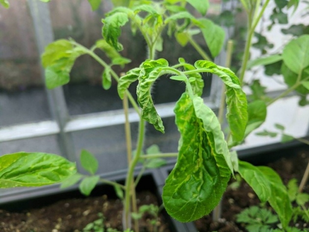 Insanely Indoor Tomato Plant Image