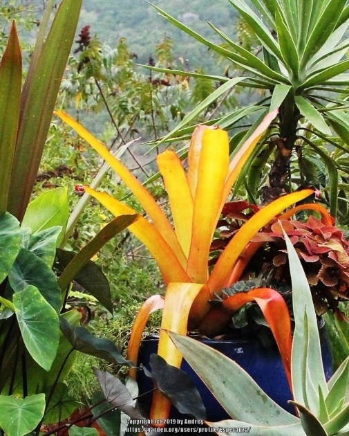 Inspiration Full-Sun Bromeliads For Florida Image