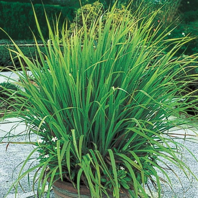 Inspiration Lemon Grass Plant Photo