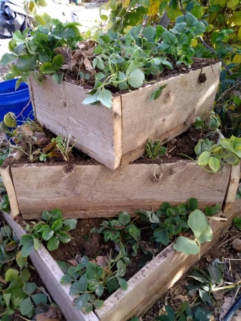 Inspirational 3 Tier Strawberry Planter Photo